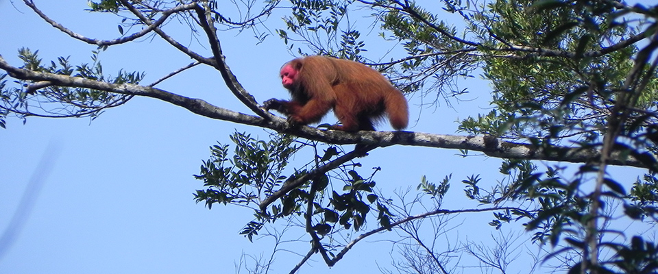 Red Uakari at Tapiche Reserve © Murilo Reis